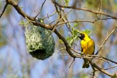 Ткачик с гнездом